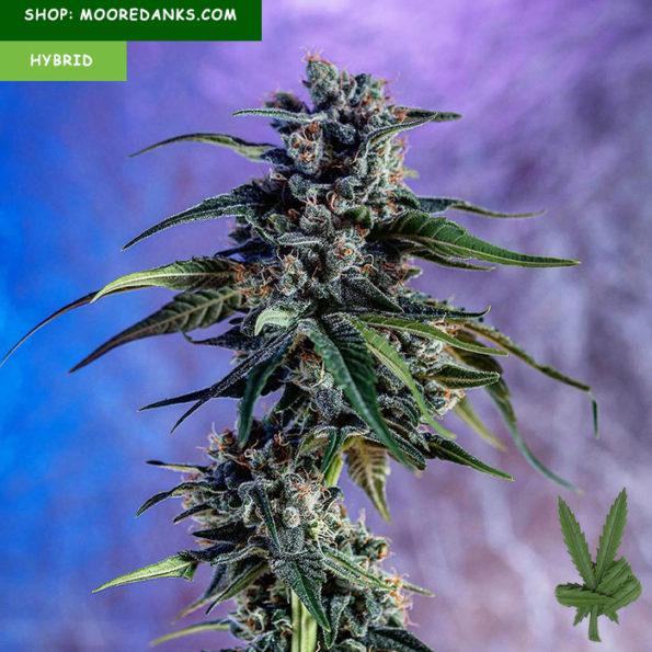 Harle-Tsu-weed-strain