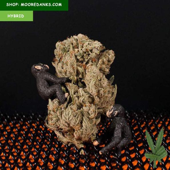 Gorilla-Glue-4-marijuana-strain