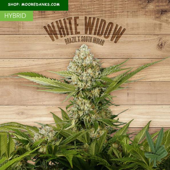 white-widow-weed